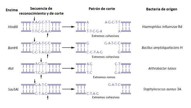 Algunas de las enzimas de restricción