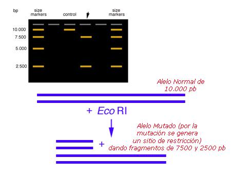 Esquema de la técnica de PCR-RFLP
