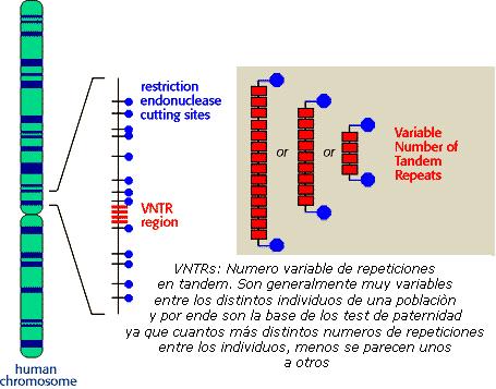 Esquema de VNTRs o microsatélites y su interpretación