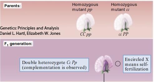 epistasis con flores purpura