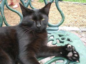 gato-con-polidactlia