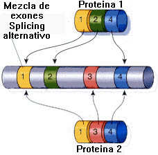 Splicing alternativo Fuente: bioinformatica uab es