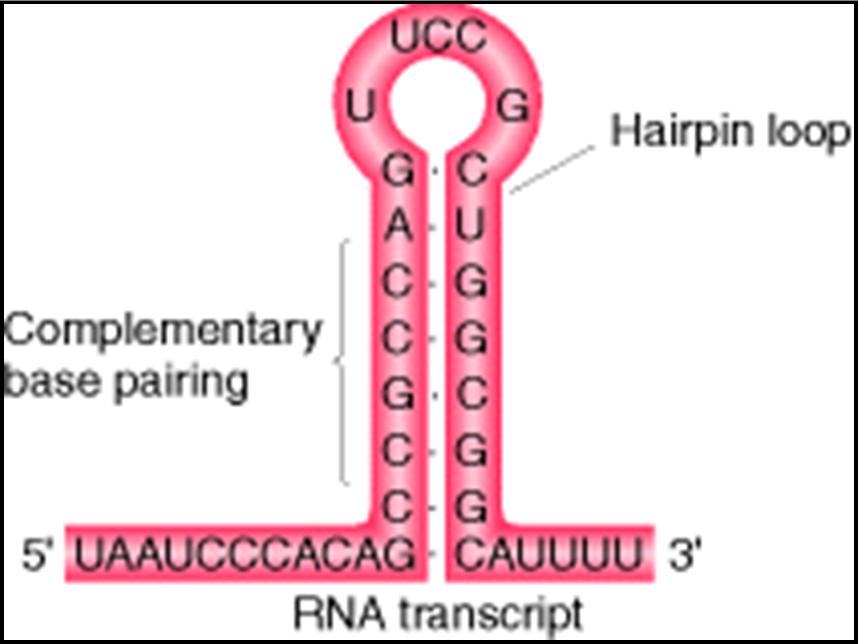 REPLICACION Y TRANSCRIPCION DEL ADN (2/5)