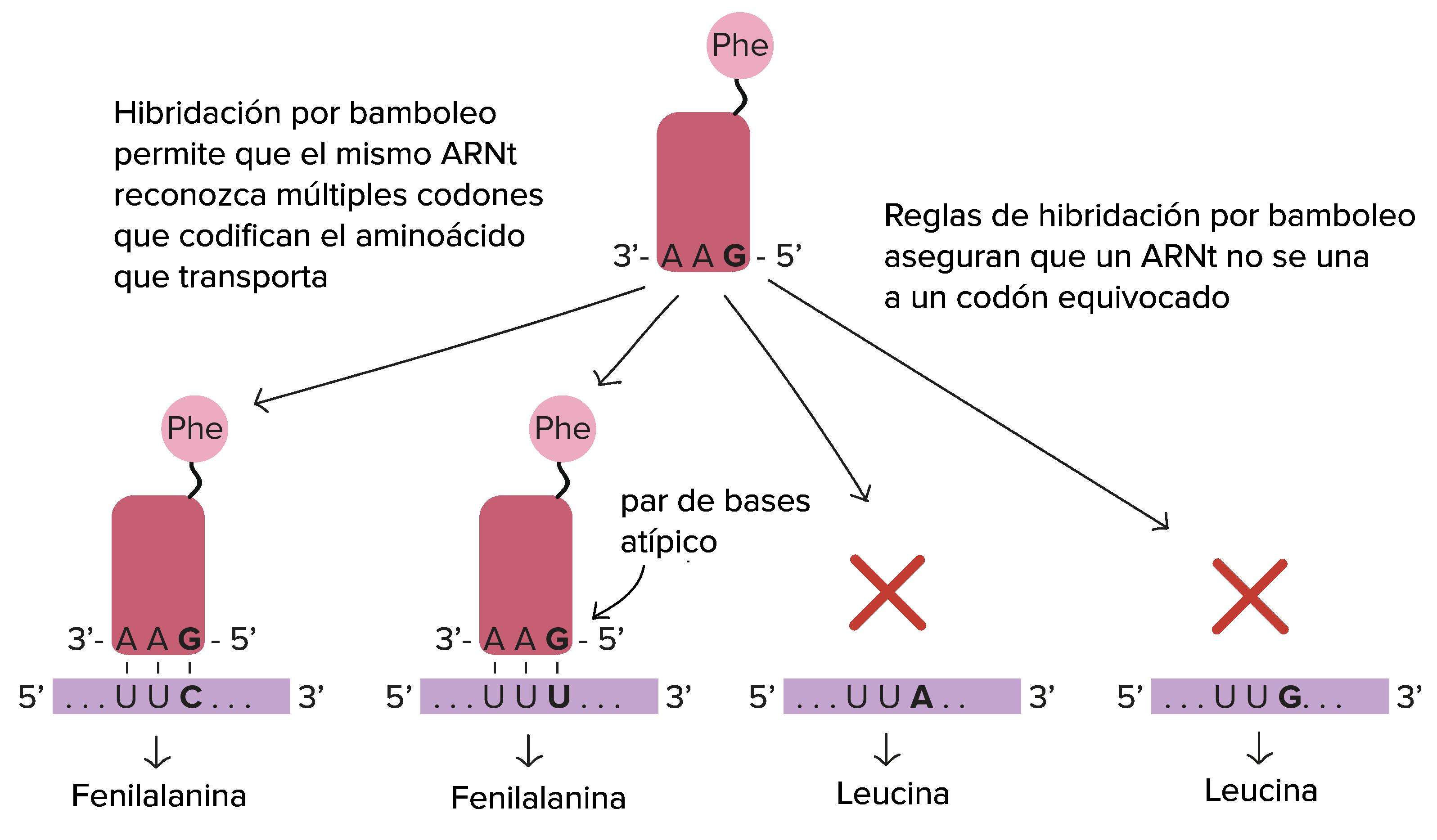 Apareamiento tipo Wooble o apareamiento poco frecuente de los ARN (codón y anticodón)