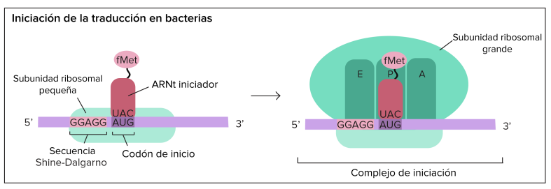 Incio de traduccion en procariotas