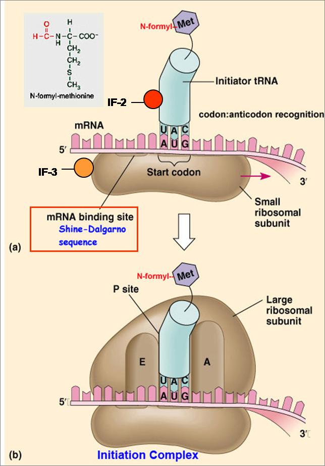 Inciacion traduccion procariotas