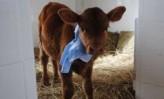 La vaca Rosita ISA