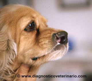 http://www.diagnosticoveterinario.com/labio-leporino-perro/98