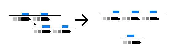 Entrecruzamiento_desequilibrado (1)