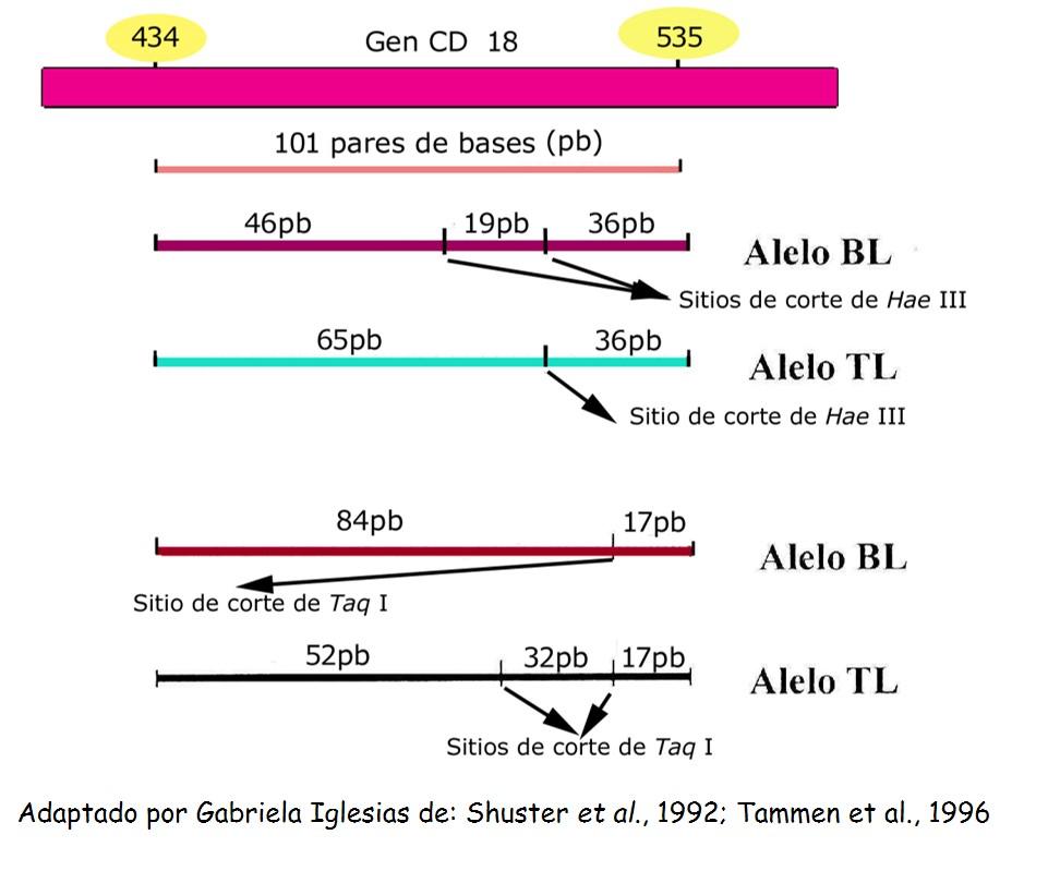 Patron de restricción alelos BLAD.jpg