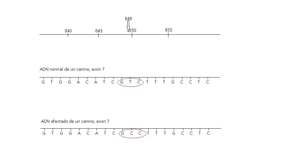 squema de la mutación del gen PKLR en un canino de raza Pug, sustitución de Timina por Citocina en la base 848, generando una proteína diferente. Por Ríos, G. y Cruz, M.