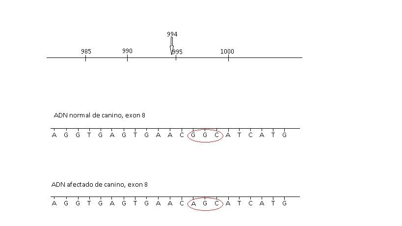 Esquema de la mutación del gen PKLR en canino de raza Beagle, sustitución de Guanina por Alanina generando una proteína diferente no funcional. Por Ríos, G. y Cruz, M.