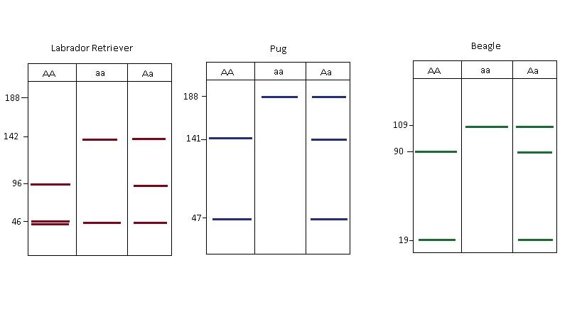 Esquema del producto de amplificación para raza en particular. Por Ríos, G. y Cruz, M.