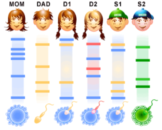 Usos como en los test de paternidad de los STRs y VNTRs en test de paternidad de DNA profiling