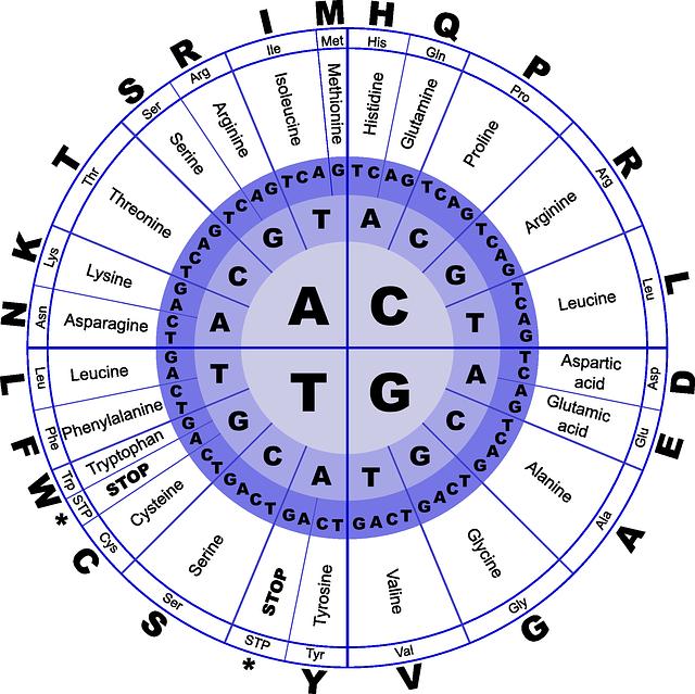 Código Genético. Imagen de uso libre. 1ra base del codón en el circulo más pequeño. 2da base del codón en el siguiente círculo y finalmente la tercera base del codón  en el circulo más externo (varias bases distintas originan de todas maneras el mismo aminoácido