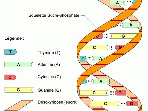 estructura básica del ADN las cadenas se unen a través de lasa bases que son complementarias, Citocina con Guanina: a través de tres puentes de hidrógeno, y Adenina con Timina a través de dos.