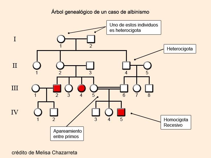 Árbol genealógico o pedigree del albinismo. Gen que solo se expresa en los animales homocigotas recesivos. Los que son albinos están representados en color rojo. Imagen de Melisa Chazarreta