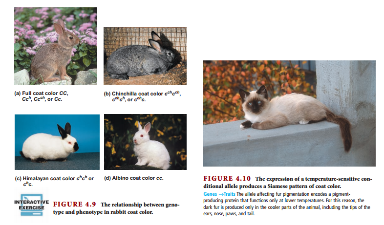Alelos múltiples en conejo y gato Robert Brooker Genetics  Analysis and Principles  4th Edition 2011