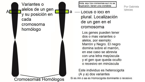 Con este esquema nos damos una idea de cómo somos y que luego podremos pasarle a nuestros hijo solo uno de estos cromosomas y por ende solo un alelo de un gen. Por Gabriela Iglesias