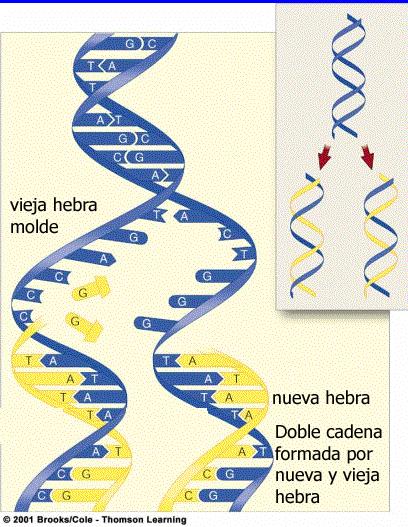 Duplicación del ADN Imagen original de Brooks Cole 2001 modificada por Gabriela Iglesias