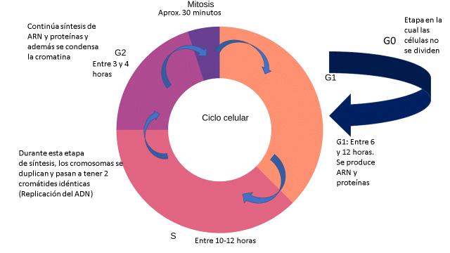 Ciclo celular y sus etapas por Gabriela Iglesias