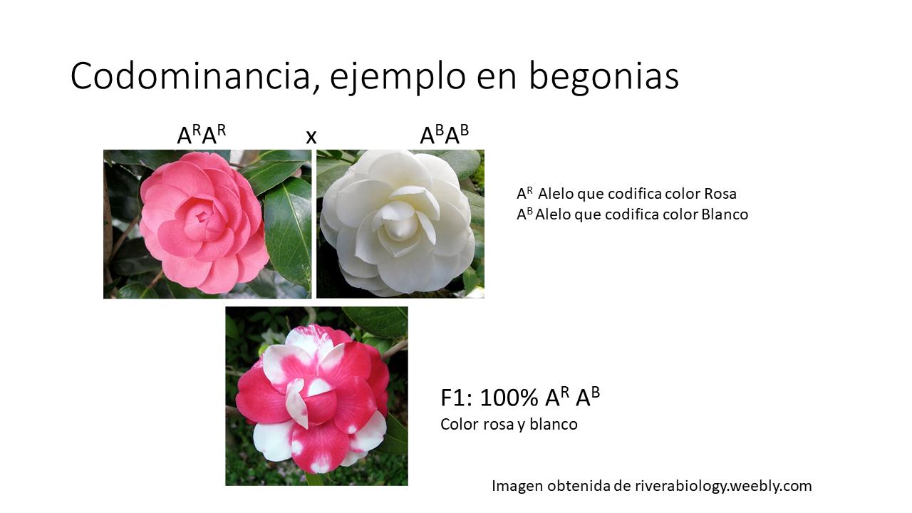 codominancia ejemplo en begonias
