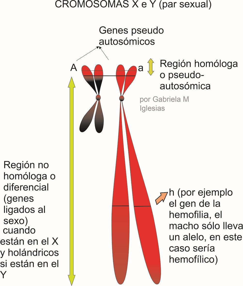 Cromosomas X e Y en esquema con las regiones que poseen. Por Gabriela Iglesias