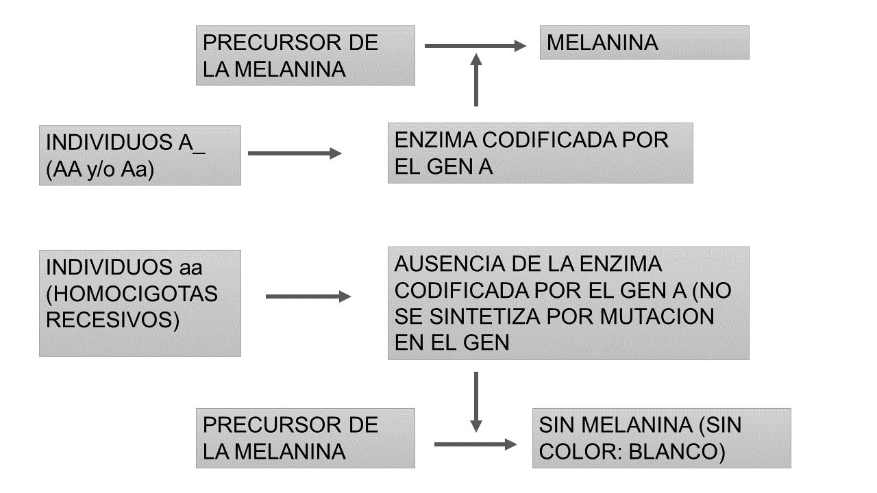 Dominancia completa ejemplo de alelo neutro. Por Gabriela Iglesias