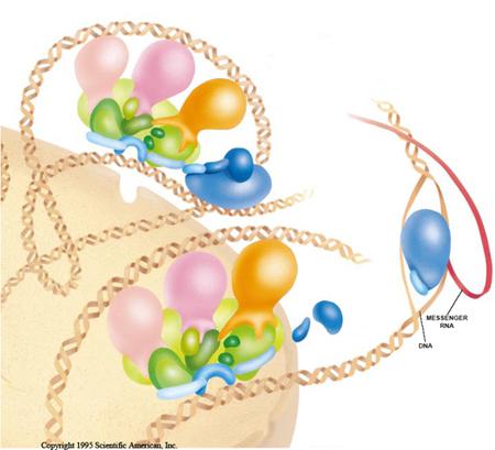 Factores de transcripción que estimulan la ARN polimerasa a transcribir sintetizando el ARN mensajero. Crédito Francisco Navarro de Scientific American INC.