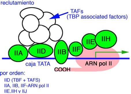 Factores de transcripción y ARN polimerasa comenzando la transcripción de Home scarlet be