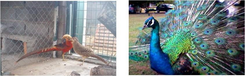 Genes del color de las plumas, se expresan distinto en machos que en hembras. A la izquierda se ve el macho y la hembra de faisán con colores mucho mas vistosos en el macho y a la derecha un macho de pavo real