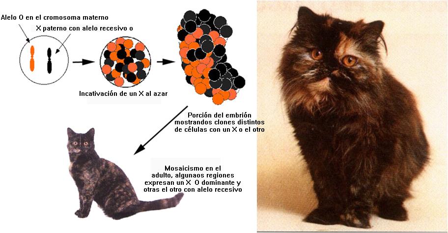 Células que expresan el gen dominante y epistático Naranja, en otras células ese gen queda inactivado por la inactivación del X, entonces se puede expresar el gen del color. En este caso Negro
