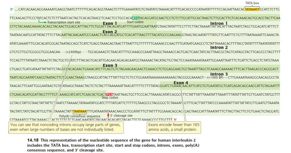 Vista de un gen eucariota completo con sus bases o nucleótidos . Se indican el tat box y la sitio de inicio de la transcripción y el marco de lectura