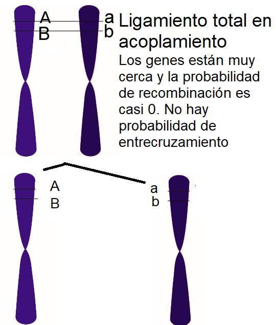 Cuando los genes están ligados totalmente no se produce recombinación entre A y B porque no hay probabilidad de entrecruzamiento. Por Gabriela Iglesias