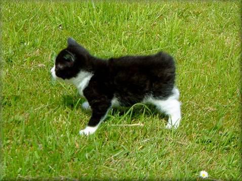 Cachorrito de gatos Manx con el gen deletéreo
