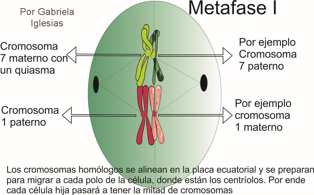 Ejemplo sin genes de la coorientación centromérica al azar