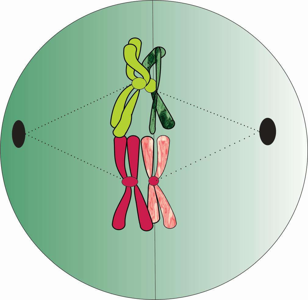 Metafase I con dos bivalentes o pares de homólogos en la placa ecuatorial. Por Gabriela Iglesias