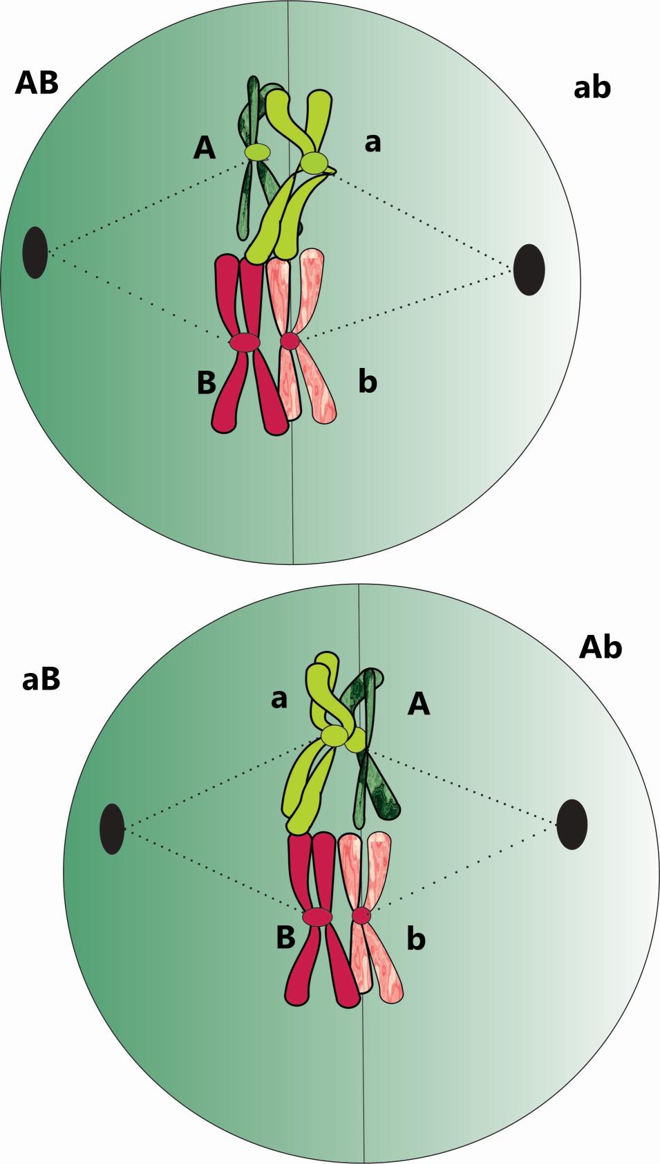 Las dos posibles coorientaciones: ambos maternos haca un polo y paternos al otro o al revés Hay un 50% de posibilidades de que ocurra en cada célula o una o la otra.