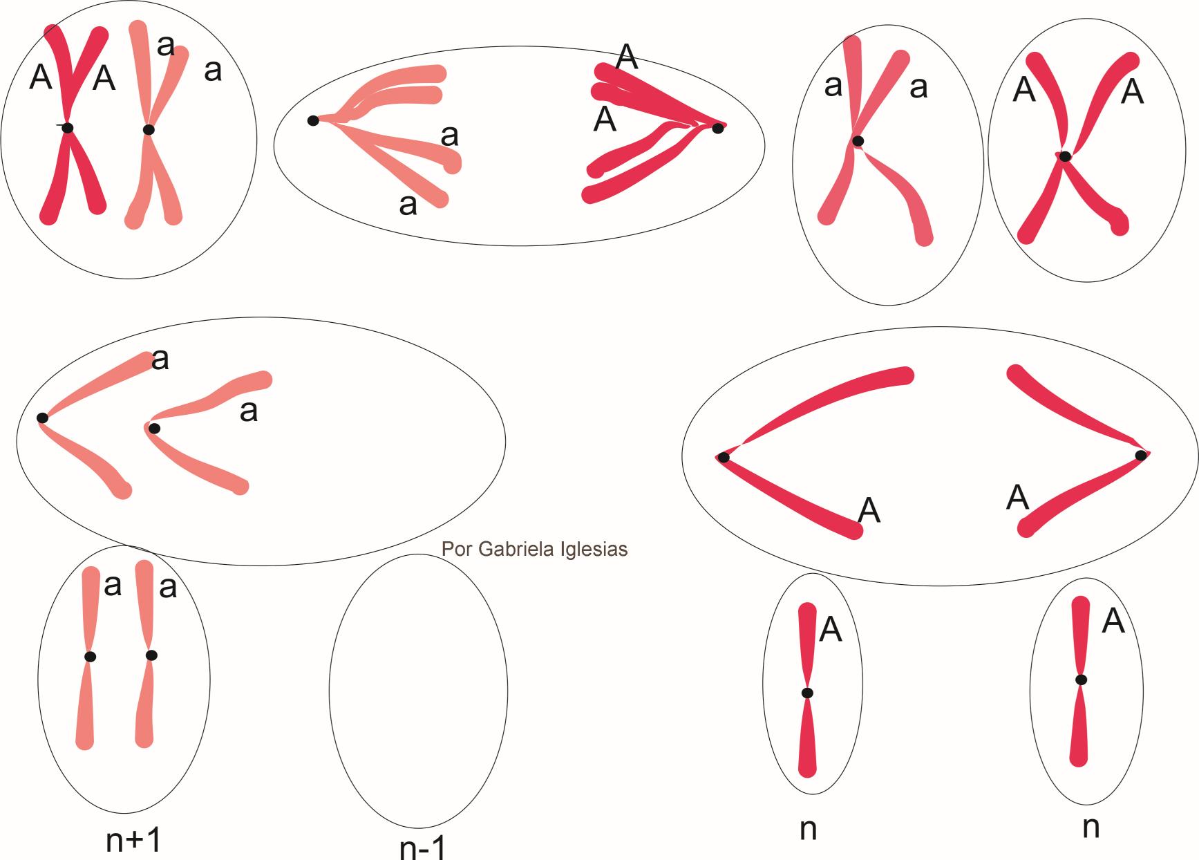 No disyunción en Anafase II 50% de gametas n y 25% n+1 y 25 n-1. Por Gabriela Iglesias