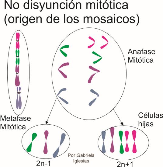 No disyunción en la mitosis, orígen de los mosaicos, individuos con alguna líneas celulares con un 2n y otras con otro 2n. Por Gabriela Iglesias