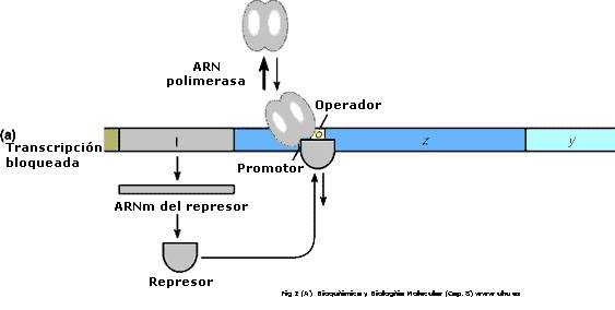 operon lac bloqueado