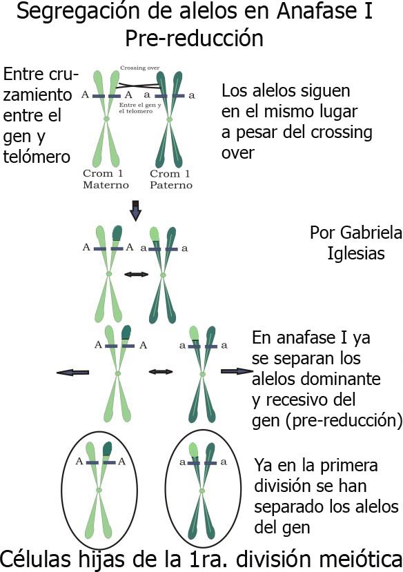 segregación-en-anafase-I. Segregación de los alelos de un gen en Anafase I