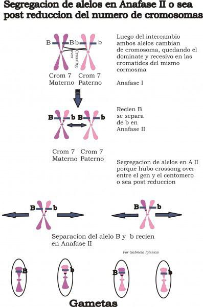 segregación-de alelos en-anafase-II