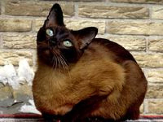 Gato tonquinés originado entre cruzas de Siamés y Burmese. Se observan extremidades mas oscuras como el siamés y el pelaje más pardo del burmese. Imágen obtenida de la web