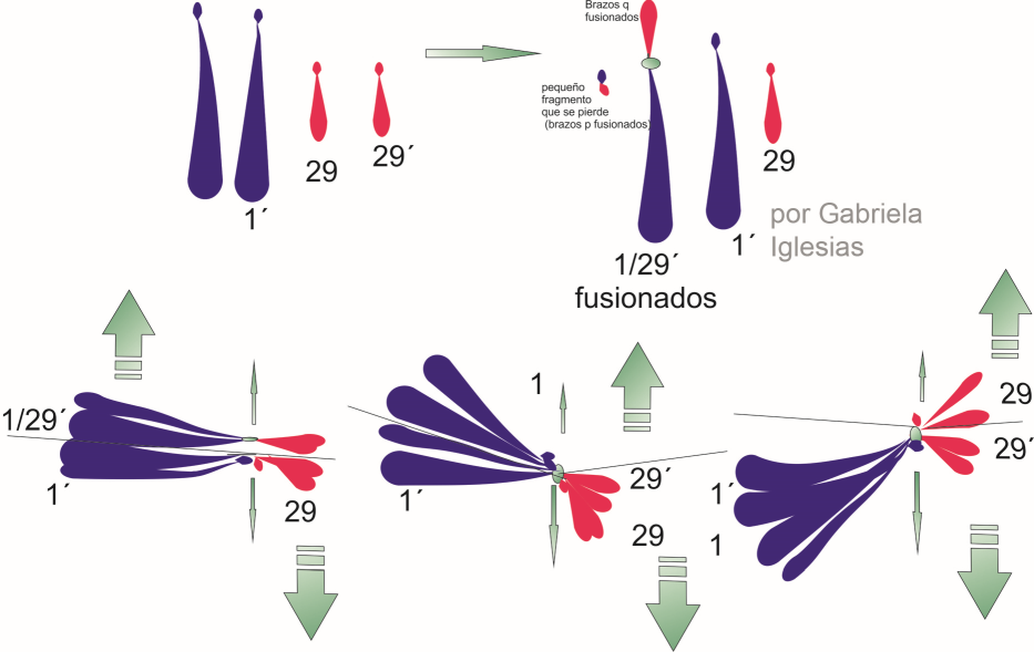 posibles gametas que puede originar el trivalente que se forma en individuos con translocación Robertsoniana. Por Gabriela Iglesias