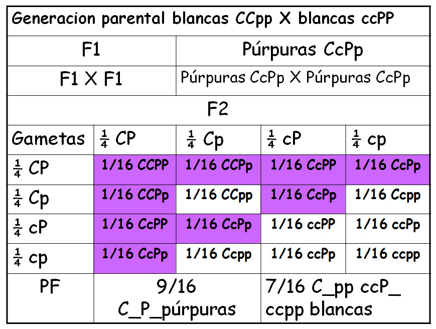 Epístasis doble recesiva flores purpura