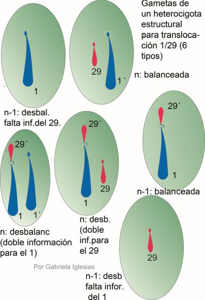 Todos los tipos de gametas que puede dar un portador o heterocigota para la translocación Robertsoniana 1/29 del Bovino