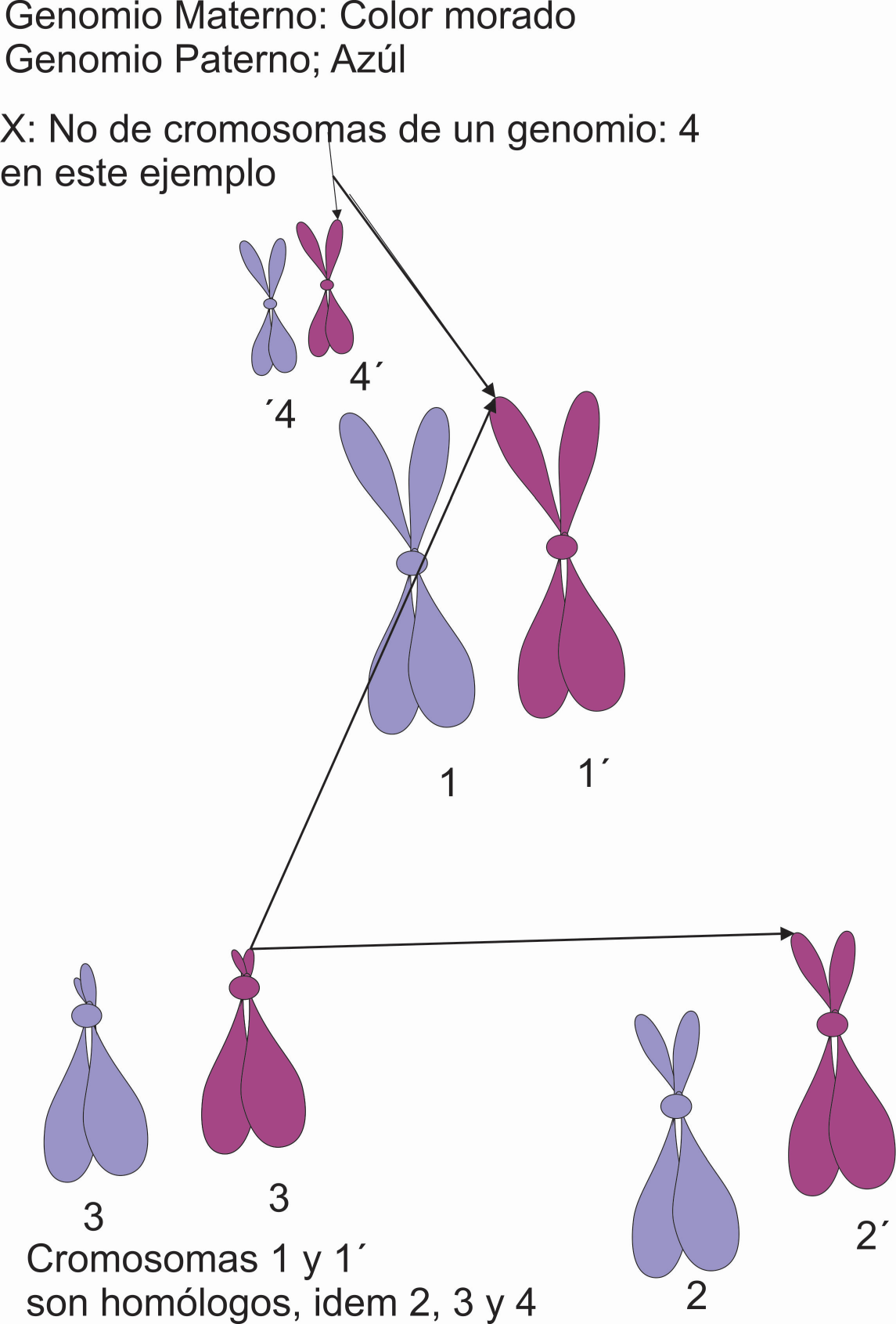 Ejemplo de cada genomio de un animal. En este caso de 2n:6 cromosomas, 3 pares de cromosomas homólogos y dos genomios con tres cromosomas cada uno. Un genomio paterno (1 cromosoma 1, un cromosoma 2 y un cromosoma 3) y otro materno. Por Gabriela Iglesias